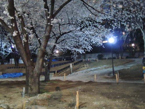 桜をニコンP310で夜間撮影