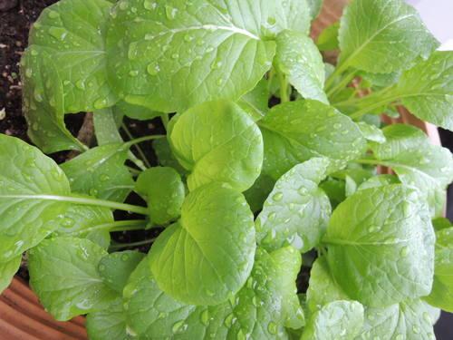 家庭菜園 小松菜つくってます(NikonP310で撮影)