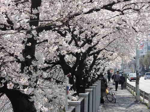 お花見 Nikon COOLPIX P310 で桜画像 パート2