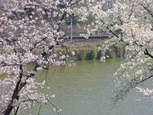 お花見 Nikon COOLPIX P310 で桜画像 パート3
